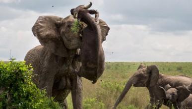 Слон вдигна 500-килограмов бивол във въздуха
