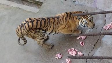 Китай избива хиляди тигри за нов афродизиак