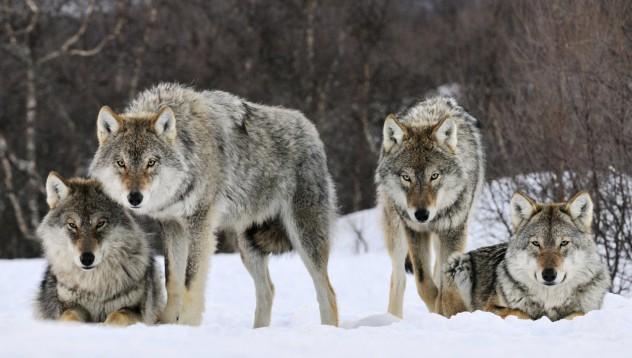Скиор едва се спаси от вълци