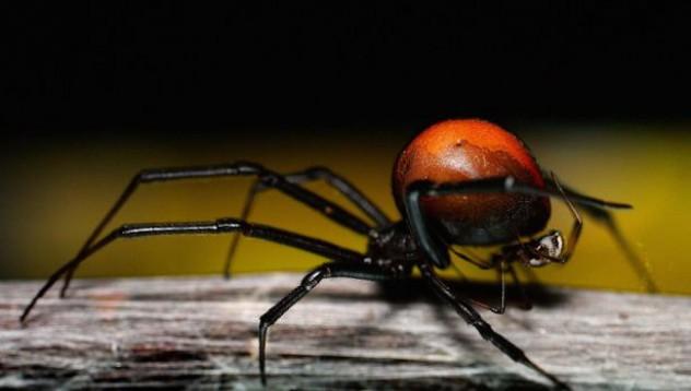 Австралиец получи най-свирепото ухапване от паяк