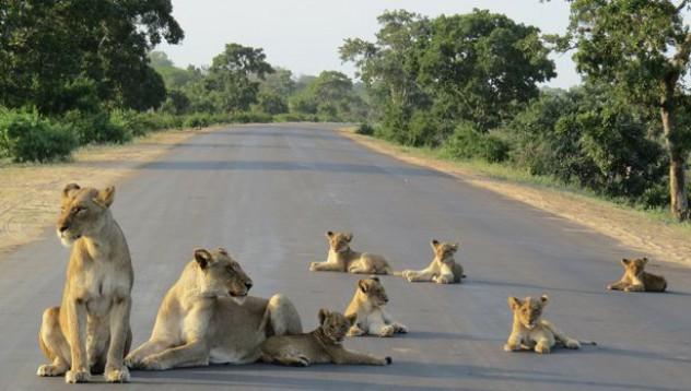 Лъвове блокираха пътна артерия