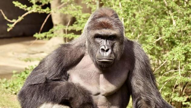 Служителите застреляли горила, която пазела малко дете