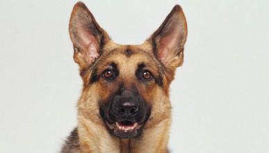 Учени откриха прародителя на вълка и кучето