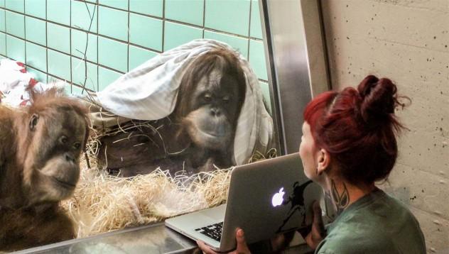 Маймуните вече намират любовта в интернет