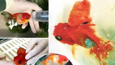 Ветеринари премахнаха тумор от златна рибка