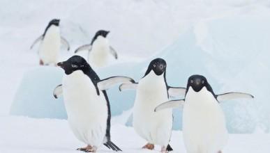 Пингвините изчезват до 2060 година