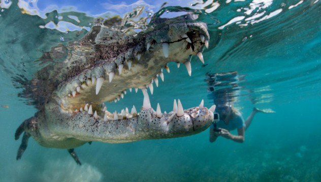 Един крокодил в опасна близост