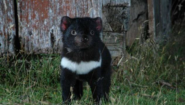 Тасманийският дявол еволюира, за да победи рака