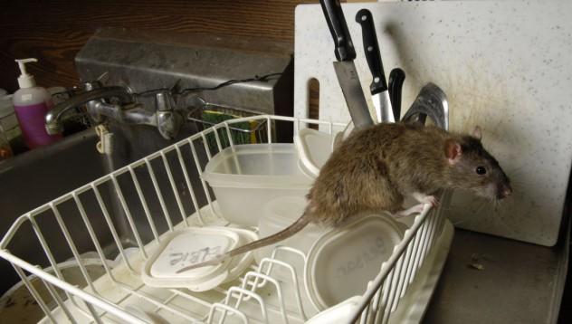 Да откриеш мишка сред пилешкото