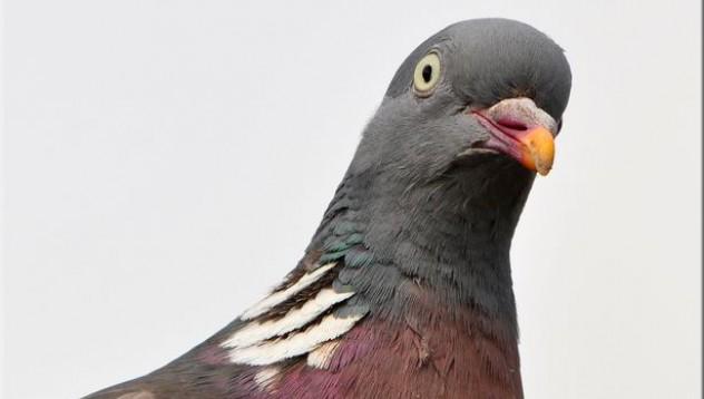 Индийският премиер е заплашен от гълъб