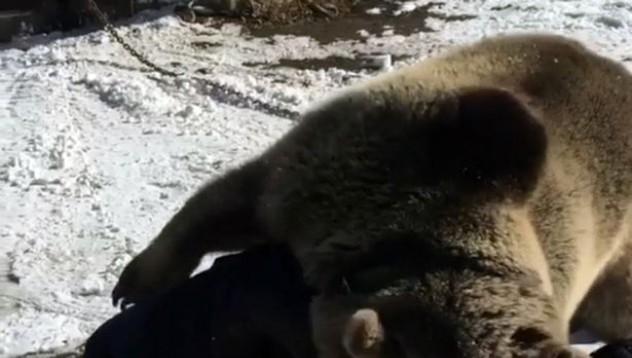 Руснак осинови мечка