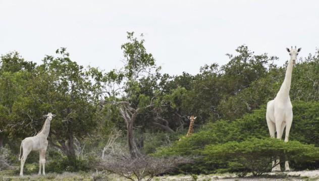 Бели жирафи се появиха в Кения