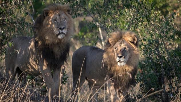 Гей лъвове обладани от зли демони