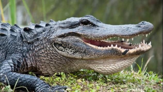 Как оцелява алигаторът в ледените води