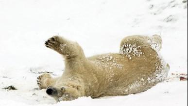 Полярните мечки са единствените щастливци от злата зима
