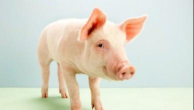 Мозък на прасе поддържан жив след обезглавяване