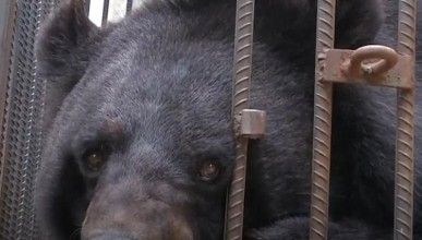 Китайци гледали две години мечка, продадена за кученце