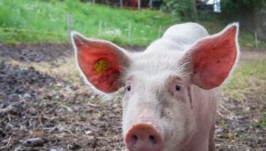 Учените успяха да направят прасетата малко по-чисти