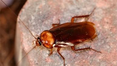 Хлебарките може да са причина за твоята настинка