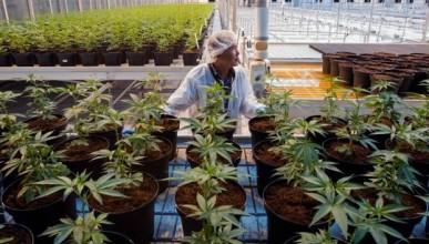Канада няма достатъчно канабис за легализирането