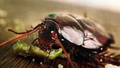 Китай използва милиард хлебарки за разграждането на храна