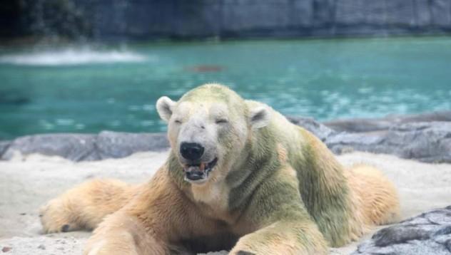 Полярни мечки нахлуха в руски град за храна