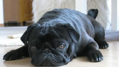 Немски власти взели породисто куче за погасяване на кредити