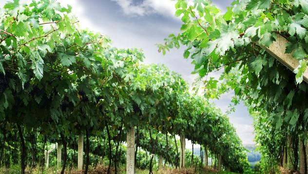 Започна гроздоберът в Пловдивско,