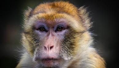 Маймуна влезе в магазин за алкохол и се напи