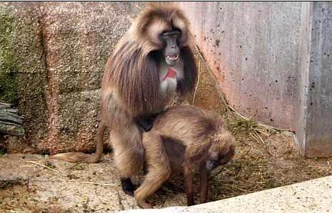 Sex s maimuni